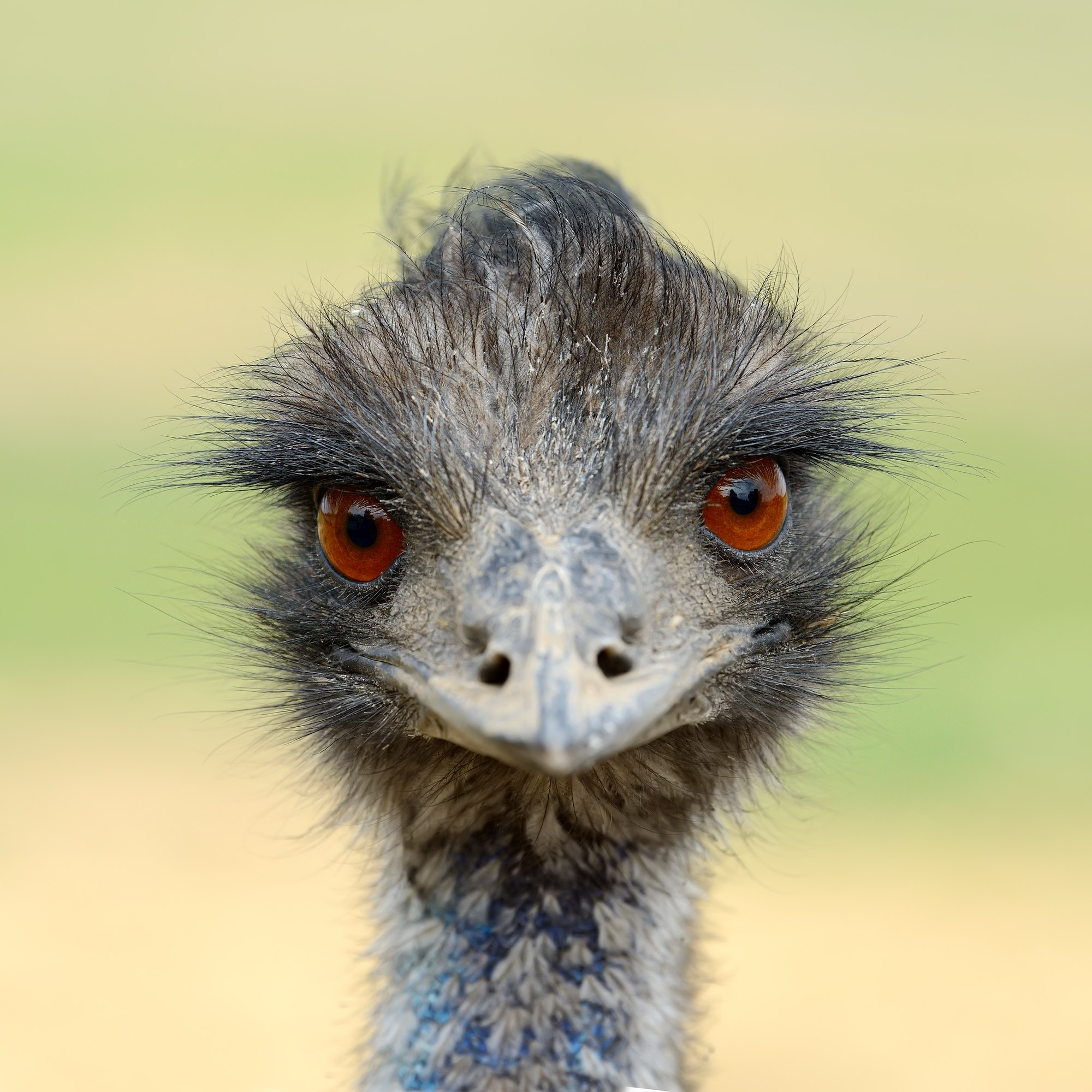 Close ostrich bird in nature