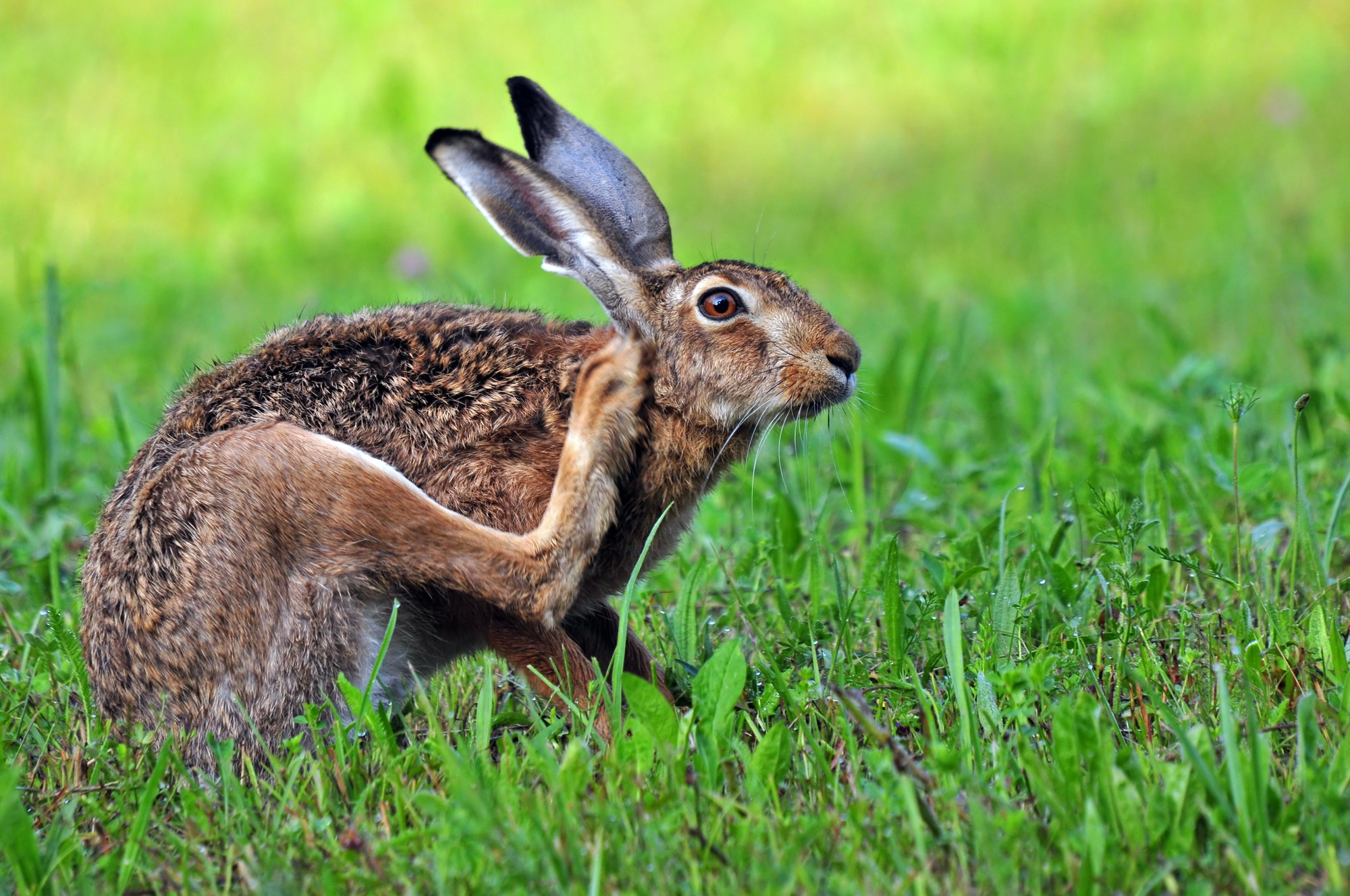 Brown hare scratching it's head